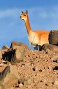 Vicugna Or Vicuna Male A Camelid Specie Specific To The Andes Highlands In South - stock photo