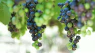 Stock Video Footage of Grapes