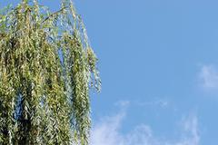 Willow branches - stock photo