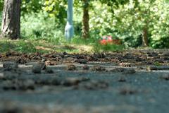 Fallen pine cones - stock photo