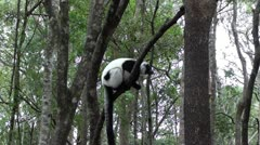 Lemur in the tree. Stock Footage