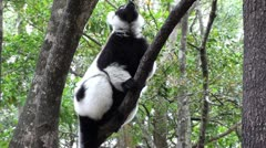 Lemur eating in a tree Stock Footage