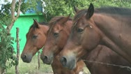 Stock Video Footage of Tree Horses Faces