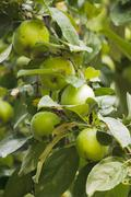 some green apples on apple-tree branch - stock photo