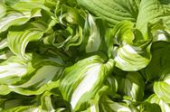 Hosta plant bright leaves Stock Photos