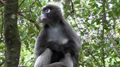 Dusky leaf monkey sitting in tree Stock Footage