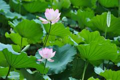 two lotus flowers - stock photo