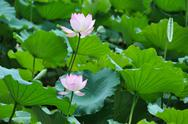 Stock Photo of two lotus flowers