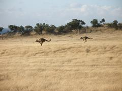 Kangaroos hopping down a hill on Kangaroo Island Stock Photos