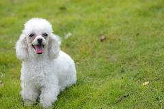 toy poodle dog - stock photo