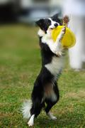 Border collie dog holding toy Stock Photos