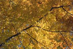 Stock Photo of autumn tree with golden leaves