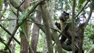 Capuchin monkey eating in a tree Stock Footage