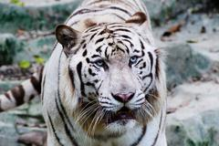 white tiger - stock photo