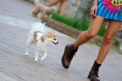papillon dog walking - stock photo