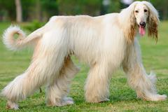 afghan hound dog walking - stock photo