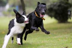 dogs racing - stock photo