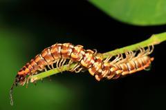 Caterpillar on stalk Stock Photos
