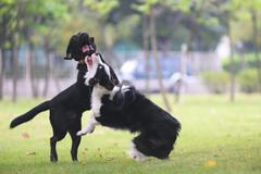 dogs fighting - stock photo