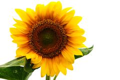 Sunflower against white background Stock Photos