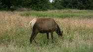 Elk 09 Redwood Female Stock Footage