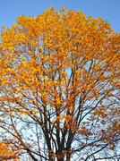Yellow autumnal tree Stock Photos