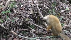 Squirrel monkey searching for food. Stock Footage