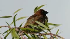 Munia Bird Male Close Up on Tree Stock Footage