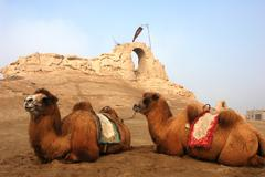 camels at the relics of an ancient castle - stock photo