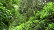 Stock Video Footage of Redwood 89 Fern Canyon