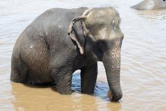 Elephant bathing in river Stock Photos