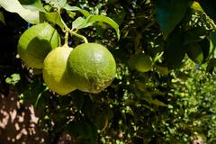 Green lemons on the tree Stock Photos
