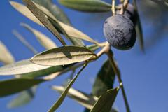 Several ripe olives hanging on olive tree - stock photo