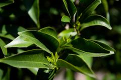 tangerine-tree branch and leaves - stock photo