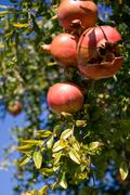 Pomegranates hanging on tree with one naturally cracked - stock photo