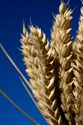Bunch of ripe ears of wheat against blue sky Stock Photos