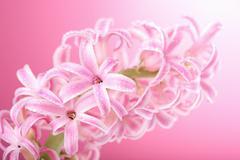 pink hyacinth flower - stock photo