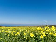 Meadow filled with yellow flowers in spring Stock Photos