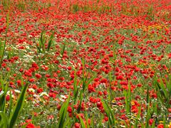 bright red poppies in the field - stock photo