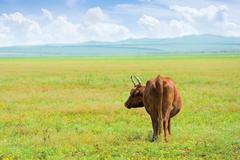 Solitary cow Stock Photos