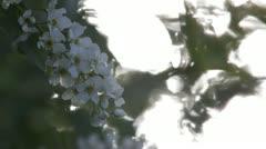 Prunus padus blossom Stock Footage