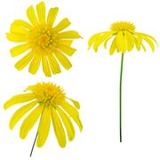 Three views of a yellow flower. Elements for design. - stock photo