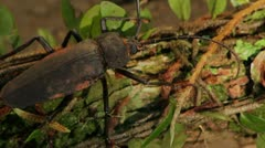Giant Trichocnemis spiculatus (Ponderous borer) beetle.Vers 2 Stock Footage