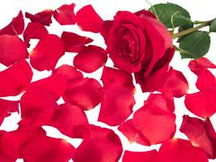 red rose with scattered petals - stock photo