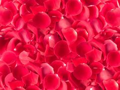 Stock Photo of red rose scattered petals