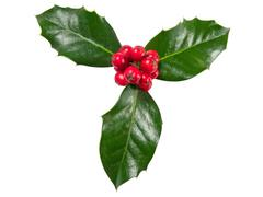 Holly Berry used for christmas decorations Stock Photos