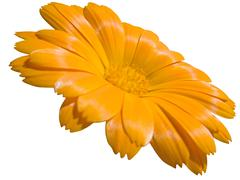Stock Photo of View of a yellow marigold isolated on white