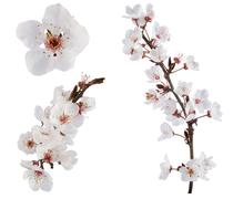 Plum-tree flowers. Design elements isolated on white. Stock Photos