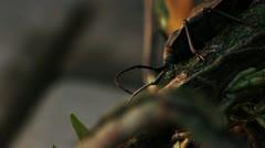 Giant Trichocnemis spiculatus (Ponderous borer) beetle.Vers 4 Stock Footage