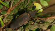 Giant Trichocnemis spiculatus (Ponderous borer) beetle.Vers 3 Stock Footage